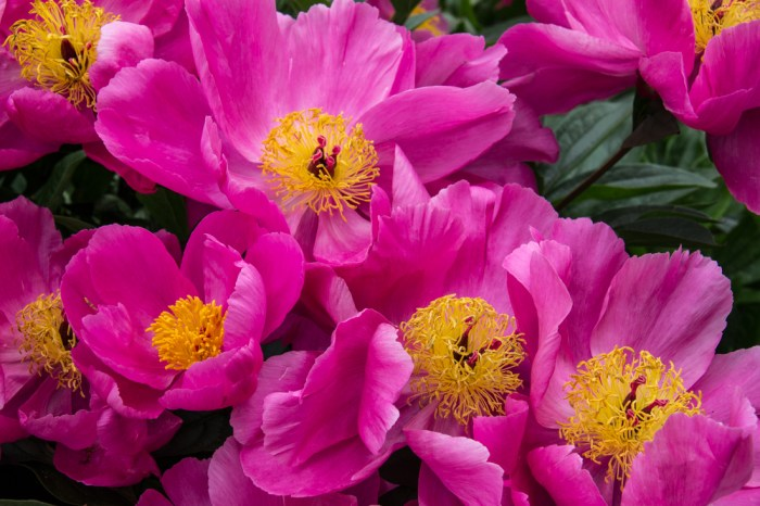 Paeonies at Cable Street Gardens