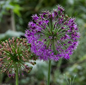 Alliums at Dalston Eastern Curve