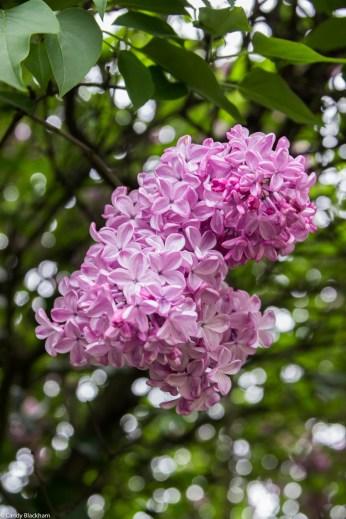 Lilac flowering in Deptford Memorial Gardens