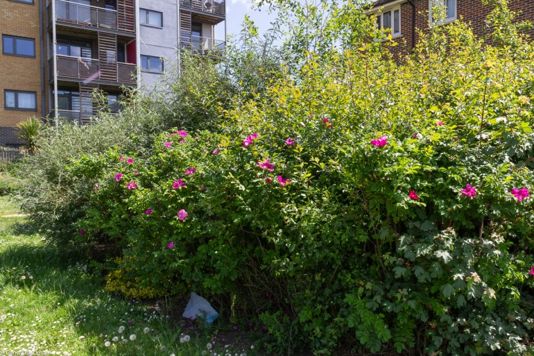 Rosa Gallica in Lower Pepys Parks