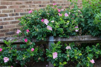 Roses and shrubs on Barfleur Lane
