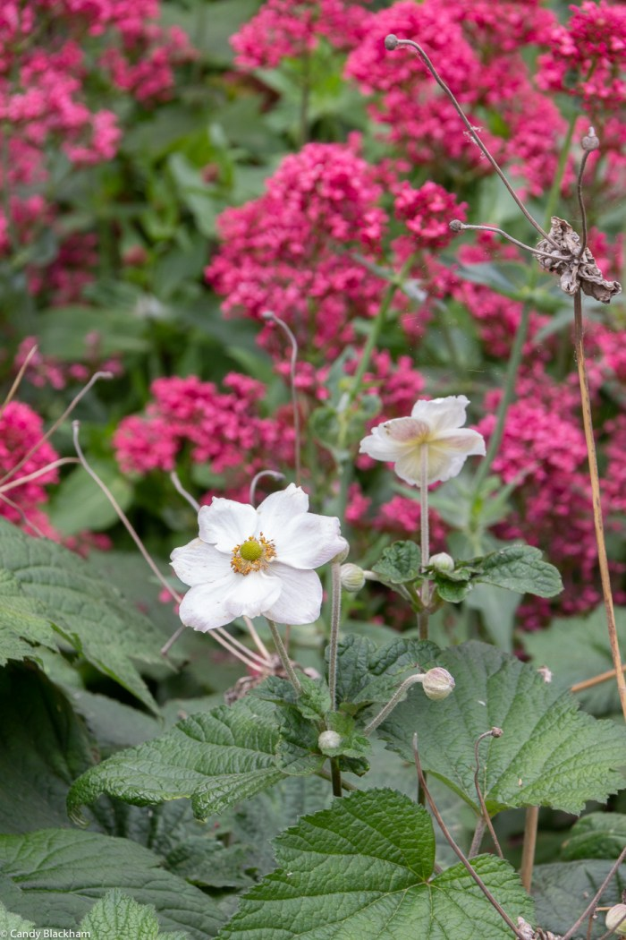 Japanese Anemones & Centranthus