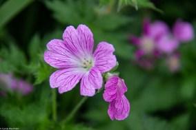 Unknown geranium