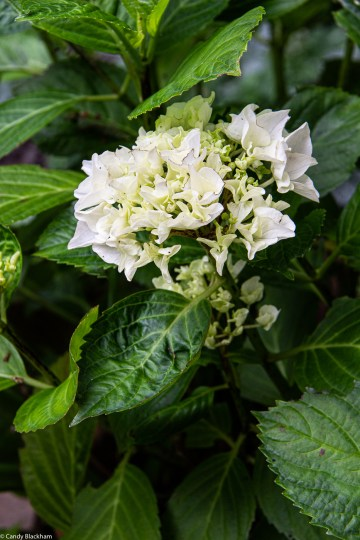 Dwarf white hydrangea