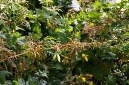 Oak Leaf Hydrangea swamped by weeds