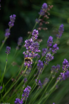 Bees in the evening