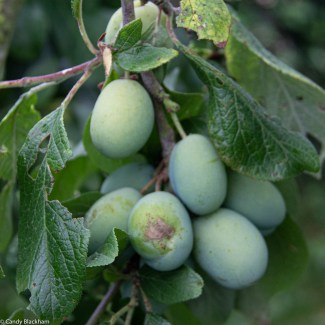 Victoria Plums on the tree