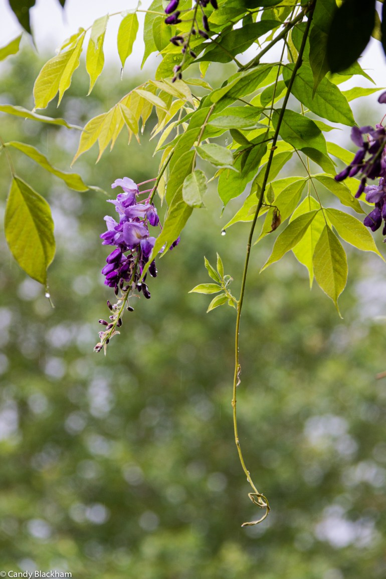 Wisteria in Brookmill Park