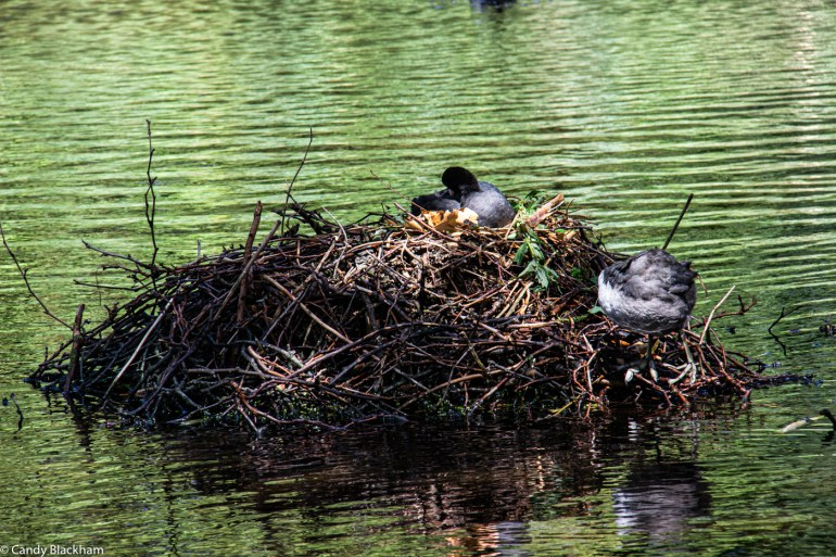 Nesting birds in the pond in Brookmill Park