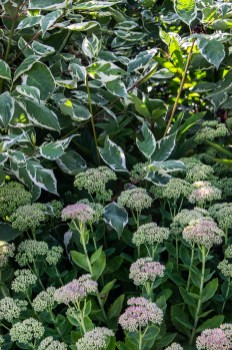 Sedums and Dogwood