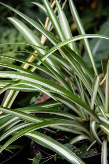 Hen & Chicken plants