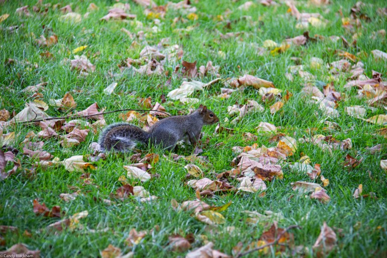 Squirrel in Hilly Fields