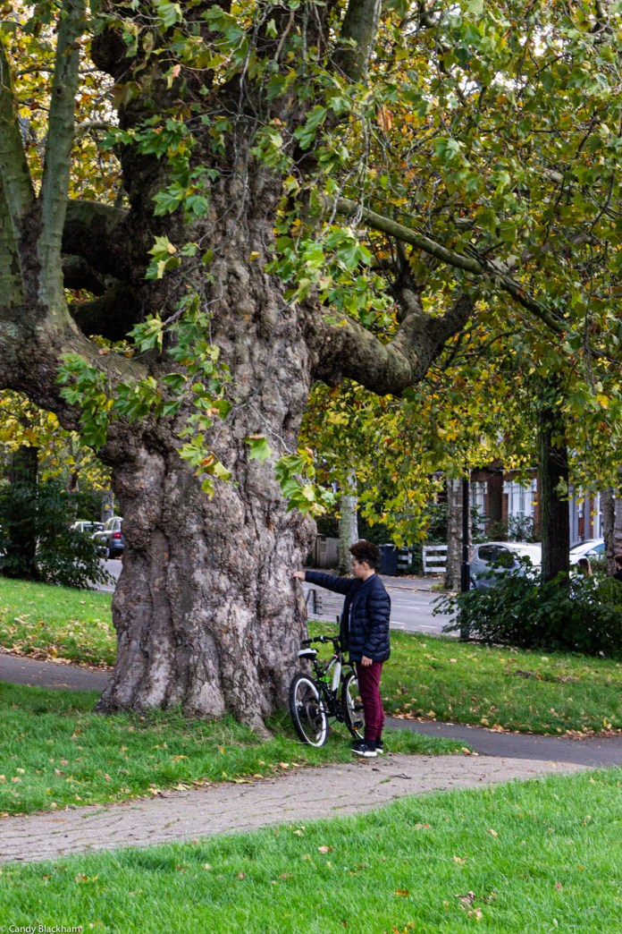 Old London plane tree