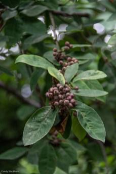 Sorbus seeds