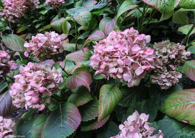 Hydrangeas in the cloister of the monastery