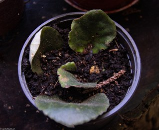 African Violet 'cuttings'