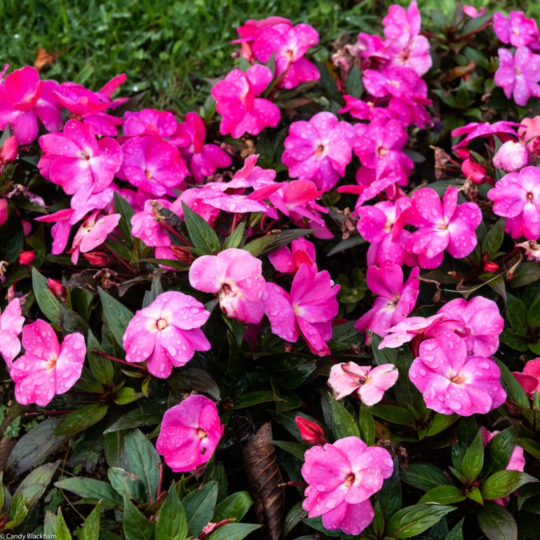 Impatiens from Ribadeo