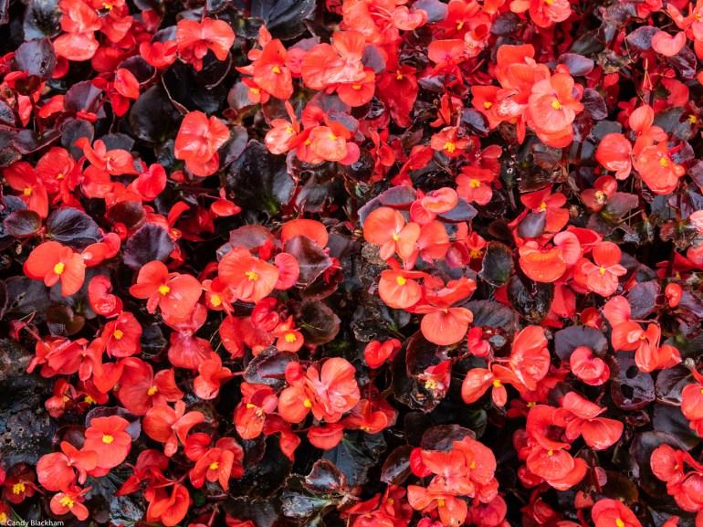 Begonias in Ribadeo