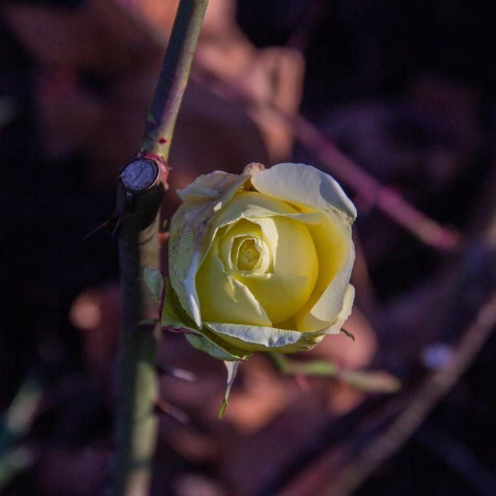 Lingering rose in Lewisham Park