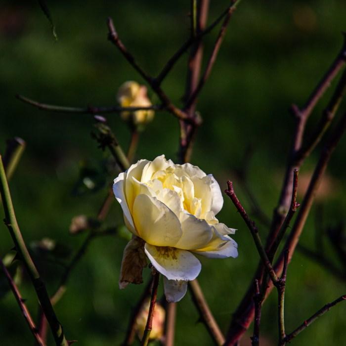 Rose in Lewisham Park
