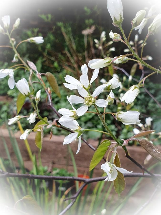 Amelanchier in the City Garden