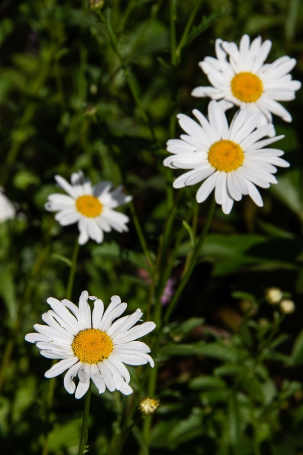 Ox-eye daisies at almost June in The Fortnight Garden