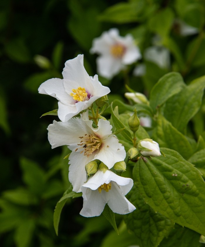 Philadelphus in mid-June