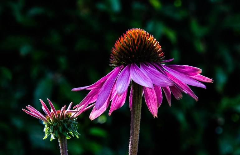 Echinacea in the morning light