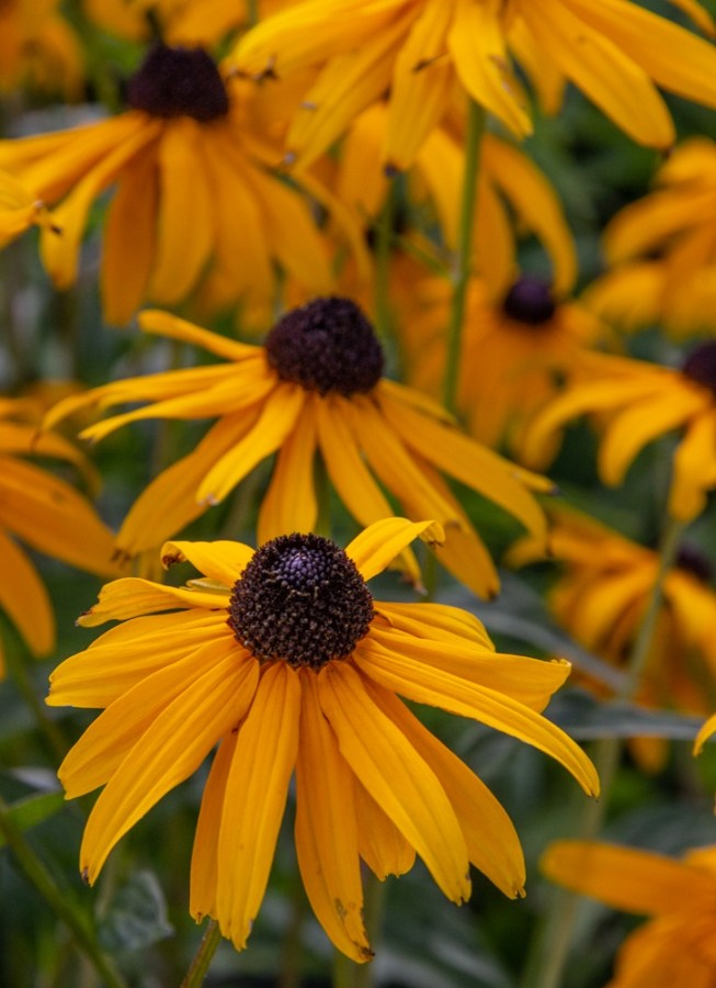 Rudbeckia Goldsturm on a windy day in The Fortnight Garden