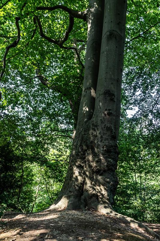 Tree on Cox's Walk in SE London