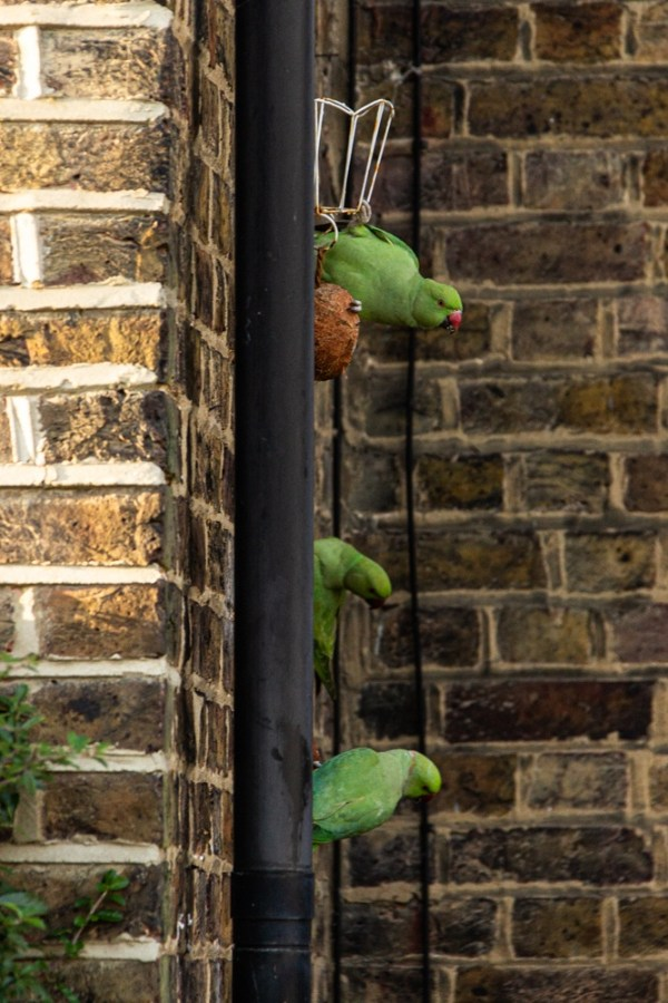 Ring-necked parakeets at a feeder on Sydenham Cottages