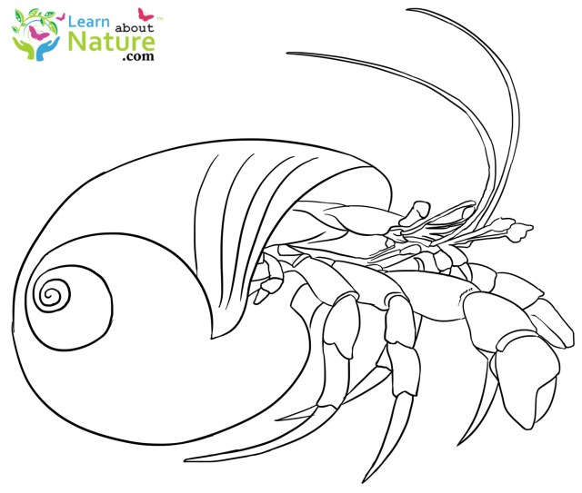 Crab Coloring Pages Hermit Crab Coloring Pages Printable Electrohubclub
