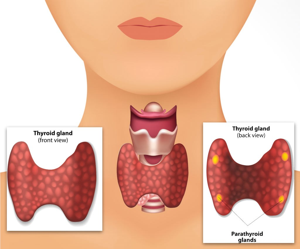 Enchanting Anatomy Parathyroid Gland Collection - Anatomy and ...