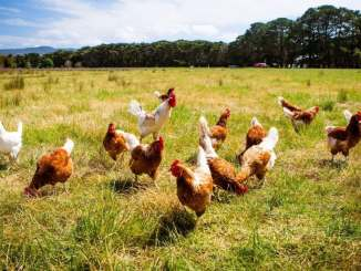 WOW !!! Man buys 1000 chickens online for N550
