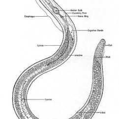 Worm Diagram Labeled What Is A Flow Chart Soil-inhabiting Nematodes - Phylum Nematoda