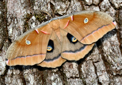 Image result for polyphemus moth