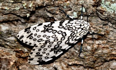 Figure 5. Giant leopard moth, Hypercompe scribonia (Stoll 1790), adult, dorsal view. Photograph by Donald W. Hall, University of Florida.