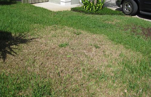 Image result for sod webworm damage
