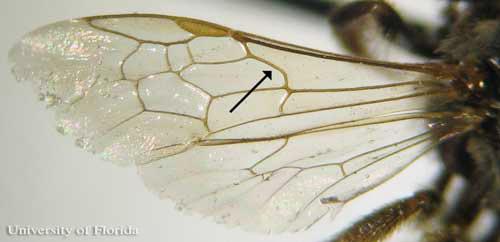 Halictidae basal wing