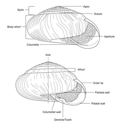 mollusca diagram labeled trailer wiring electric brakes terrestrial snails affecting plants in florida of typical snail shell showing major features