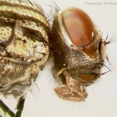 House Fly Anatomy Diagram Human Head Musca Domestica Linnaeus Lateral View Of The An Adult
