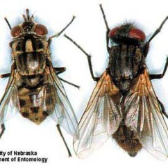 House Fly Anatomy Diagram Volvo Penta Duo Prop Outdrive Musca Domestica Linnaeus A Dorsal Comparison Of Adult Stable Stomoxys Calcitrans Left