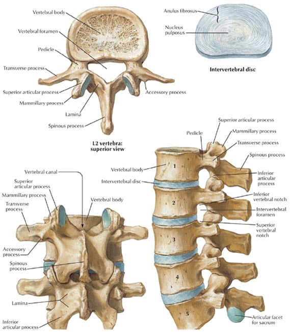 Applied Anatomy and Percutaneous Approaches to the Lumbar Spine | Ento Key