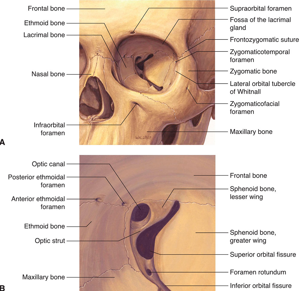 hight resolution of figure 1 1 a orbital bones frontal view b orbital bones apex reproduced with permission from dutton jj atlas of clinical and surgical orbital