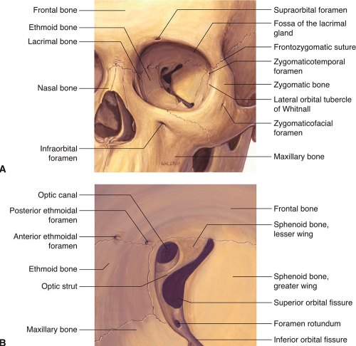 small resolution of figure 1 1 a orbital bones frontal view b orbital bones apex reproduced with permission from dutton jj atlas of clinical and surgical orbital