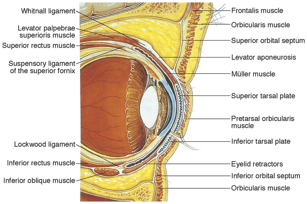 Anatomy of the Extraocular Muscles | Ento Key