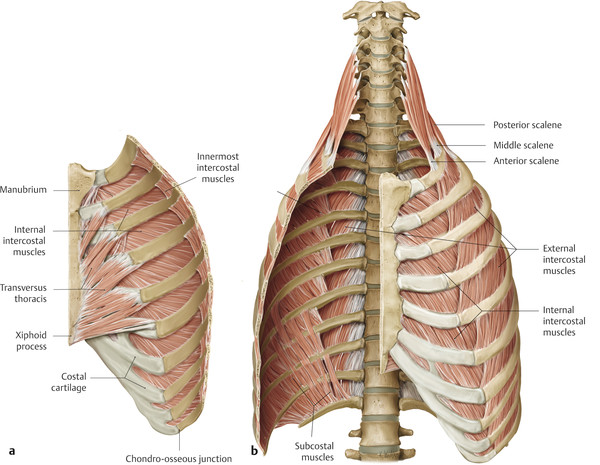 The intercostal muscles.