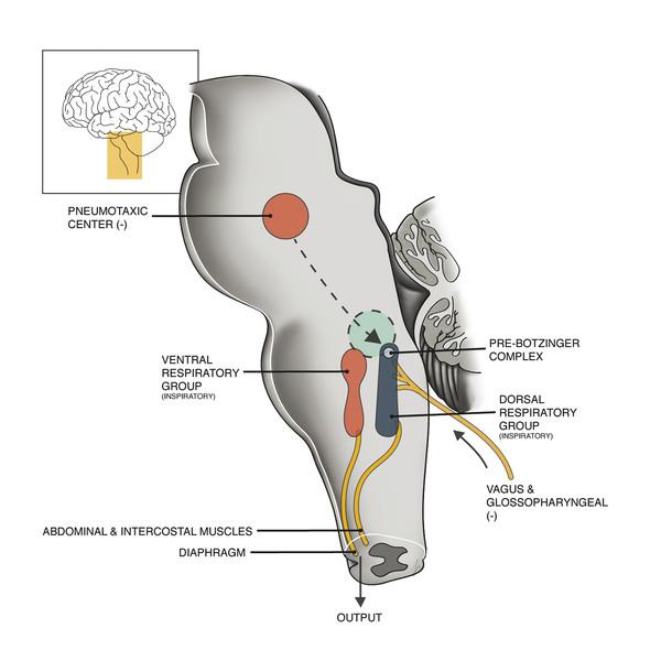 Brainstem respiratory centers responsible for involuntary respiratory patterns.