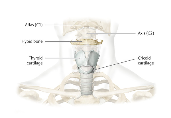 Anterior view. The larynx is located in the midline of the anterior neck. Laryngeal structures at rest are positioned at characteristic vertebral levels in adult males: hyoid bone: C3; thyroid cartila