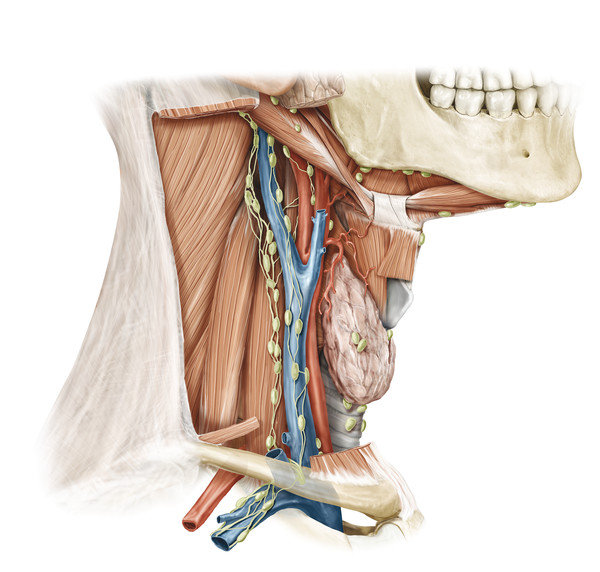 The deep lymph nodes located in the neck serve as sites for regional metastasis of laryngeal cancer, and may necessitate treatment via radiation or surgical removal via neck dissection.